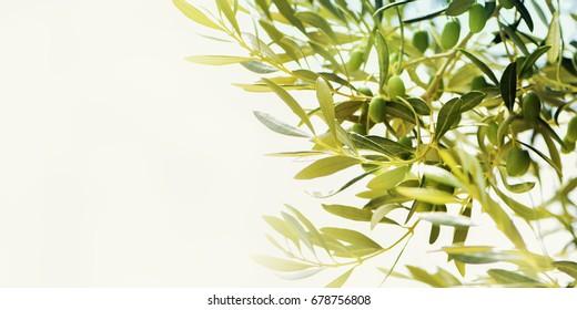 Olives on olive tree. Season nature image
