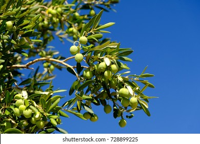 Olives on trees in Lun on Pag island in Croatia