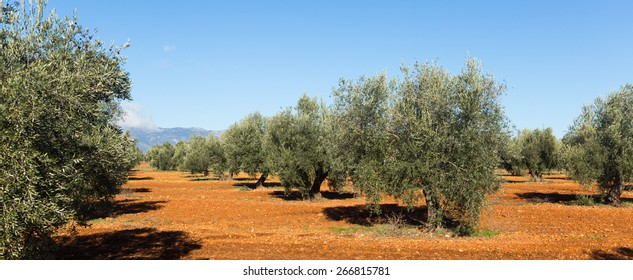 Olives plant at agricultural field in sunny day.  Andalusia, Spain