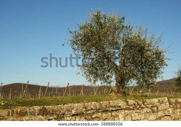 Olives Tree in the countryside near Florence, Tuscany, Italy