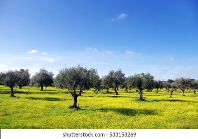 Olives tree and yellow flowers, south of Portugal