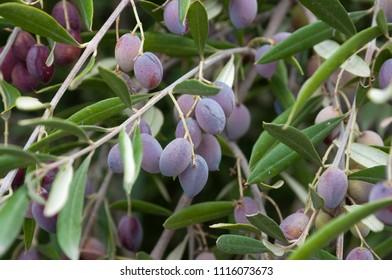 Olives Trees for oil