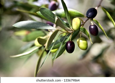 Olives in various stages of ripening. Soft focus background/Tuscany Olive/Tuscany,Italy