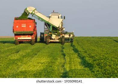 Olivet, France - 13 mars 2021 : Harvest of flat-leaf parsley intended for a food condiment factory