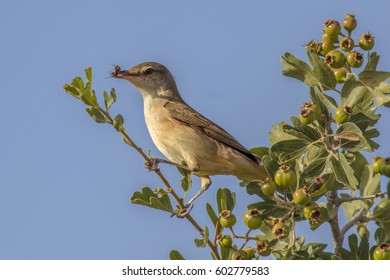 Olive-tree warbler (Hippolais olivetorum) with insect prey on migration on Cyprus island