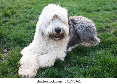 Olivia, a female Old English Sheepdog