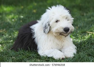 Olivia, a female Old English Sheepdog Puppy