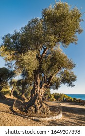 Olivier Millenaire du Parc Estienne D'orves (Millenary olive tree in Parc d'Estienne d'Orves) is an ancient olive tree and landmark in this park that conveys agrarian and rustic concept - Nice, France