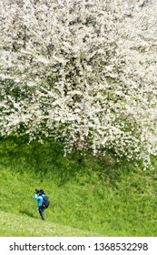Olsberg, Switzerland - April 12, 2019: A young woman is photographing a huge blooming cherry tree with white flower blossom in spring season in fruit orchards