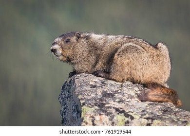 Olympic marmot sitting on rock in close up in Canada British Columbia