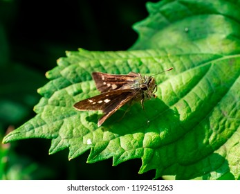 OLYMPUS DIGITAL CAMERAA grass skipper butterfly rests on a leaf while it feeds from small wildflowers along a riverside in Kanagawa, Japan.