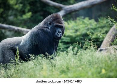 Omaha, Nebraska / USA - June 2019: Silverback Gorilla at Omaha's Henry Doorly Zoo & Aquarium