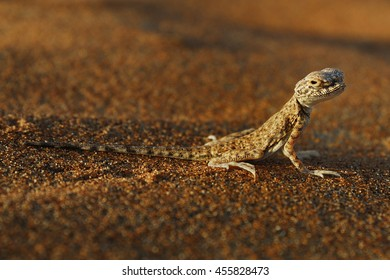 Oman desert lizard during sunset