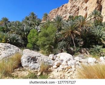 Oman the oasis of wadi bani Khalid, Trees of Wadi Bani Khalid
