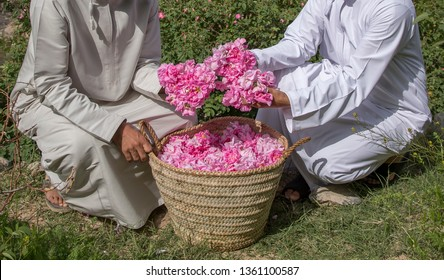 Omani men collectinf Rose petals info a basket