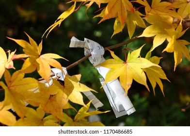 O-mikuji (a piece of paper with a written blessing and good fortune in Japanese on it) hanging on yellow maple tree, it is often can be seen at at Shinto shrines and Buddhist temples in Japan