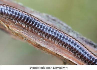 Ommatoiulus sabulosus, known as the striped millipede, a Diplopoda double-legged segments