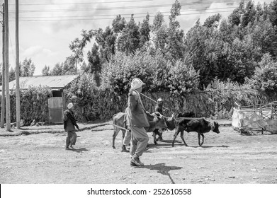 OMO, ETHIOPIA - SEPTEMBER 19, 2011: Unidentified Ethiopian men excort the cows. People in Ethiopia suffer of poverty due to the unstable situation