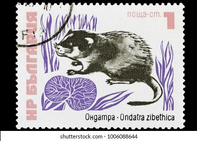 OMSK, RUSSIA - JANUARY 20, 2018: A stamp printed in Bulgaria shows a muskrat (Ondatra zibethicus), series, circa 1973, close-up, isolated
