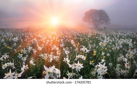 On background of alpine meadows spring, filled with pure water melting glaciers-bloom the first spring flowers, narcissus Primroses are especially appreciated by people who enjoyed a long winter care