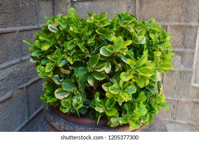 On the background of the gray corner of a stone building in a flower pot is a bright green plant with large yellowing leaves.