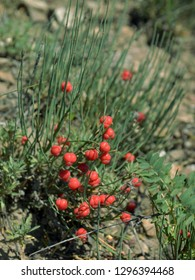 On the Beautiful shore of Akademgorodok Krasnoyarsk grows a large number of herbs and flowers. One of these plants is horsetail ephedra – the main vegetable source of ephedrine-a drug whose red berrie