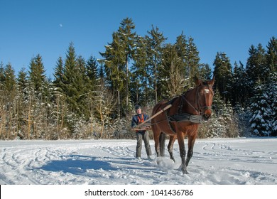 On a beautiful winter day, a man on skis is pulled by his horse through the wonderful white winter landscape in the Black Forest. Skijoring is a winter sport, which has its roots in Scandinavia.