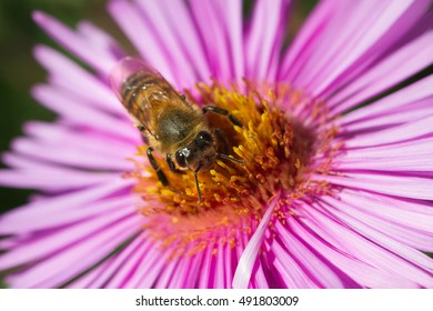 On bee on the violet flower.