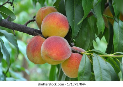 On the branch of a tree with green leaves grow ripe peach fruits