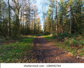 On a bright sunny winters morning a wide muddy footpath curves between rows of tall fir trees.