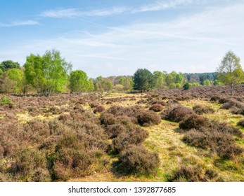 On Budby Moor looking across heather and bracken towards the edge of Sherwood Forest.