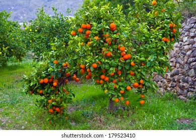 on citrus plantation in Spain ripe oranges in large numbers on the branches of a tree