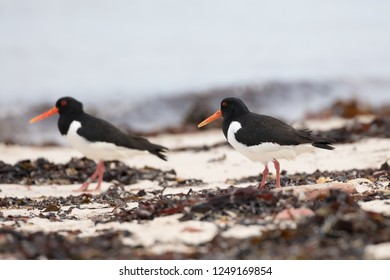 On the coast, the activity of the oystercatcher is very dependent on the tides - the animals are thus active day and night