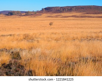 On the Derbyshire moors a lone tree stands amidst the golden autumnal grasses on a bright sunny morning