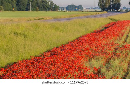 On the edge of the field, close to the country road, blooming poppies