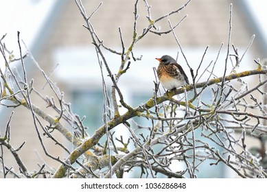 on February 8 2018 Winter birds feed on, or transited through, the tits, the fieldfare, Song thrush