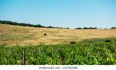 On a field with a yellow dried grass alone tree and a vineyard