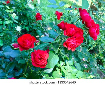 On the flowerbed bushes of red roses.