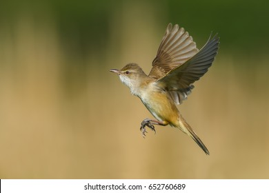 On the fly spring/Great Reed-Warbler