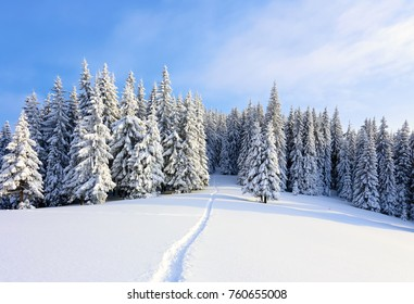 On a frosty beautiful day among high mountains are magical trees covered with white fluffy snow against the magical winter landscape. Scenery for the tourists. The wide trail leads to the forest.