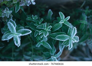 On a frosty morning, a mint in a frost taken from above