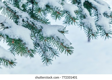 On the green branches of spruce or pine is beautiful white snow. In the foreground a few branches of pine or spruce. In the background snow in the woods. Festive, Christmas mood. The sun is shining.