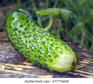 On a green cucumber grows a leaf