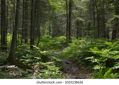 On a hot summer afternoon take a relaxing walk through the dark green forest.  This rugged path is covered with raised roots and has many trip points.