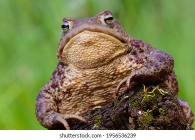 On land toads normally have a dry skin so this is a natural condition for the female Bufo bufo that is living on land in forest or garden