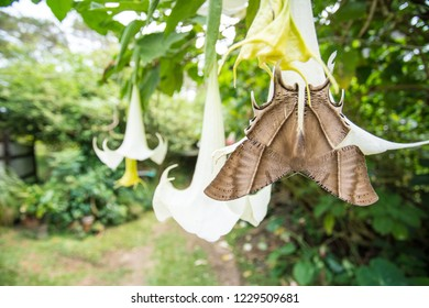 on a large flower of a tree there is a very beautiful Tropical Swallowtail Moth at the bottom
