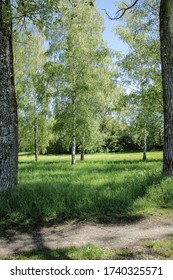 On the left and right at the edge of the picture are two large poplars, in the background there is a row of birch trees.