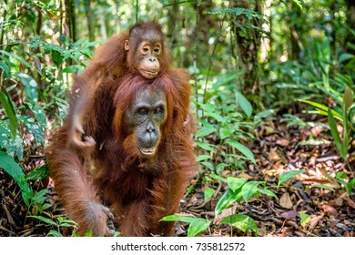 On a mum`s back. Baby orangutan on mother's back in a natural habitat. Bornean orangutan (Pongo pygmaeus wurmbii) in the wild nature. Tropical Rainforest of Borneo Island. Indonesia