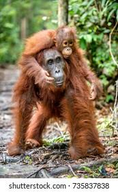 On a mum`s back. Baby orangutan on mother's back in a natural habitat. Bornean orangutan (Pongo pygmaeus wurmbii) in the wild nature. Tropical Rainforest of Borneo Island. Indonesia