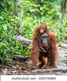 On a mum`s back. Cub of orangutan on mother`s back. Green rainforest. Natural habitat. Bornean orangutan (Pongo pygmaeus wurmbii) in the wild nature. Tropical Rainforest of Borneo Island. Indonesia